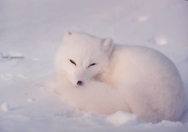 Magnificent free blue fox in the snow.